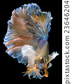 Colorful  waver of Betta Saimese fighting fish 23646204