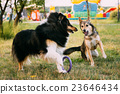 collie, outdoor, play 23646434