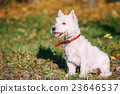 Small West Highland White Terrier - Westie, Westy 23646537