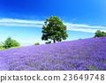 ฤดูร้อนฮอกไกโดฟิลด์ลาเวนเดอร์ที่มีสีสัน 23649748