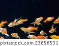 金魚 魚 游泳 23656531