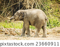 Baby Asian elephant 23660911