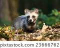 raccoon, dog, animal 23666762