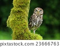 Athene noctua owl 23666763
