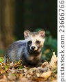 Raccoon dog in forest 23666766