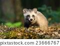Adorable baby raccoon dog 23666767