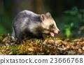 Raccoon dog chewing 23666768