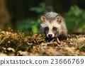 Baby raccoon dog 23666769