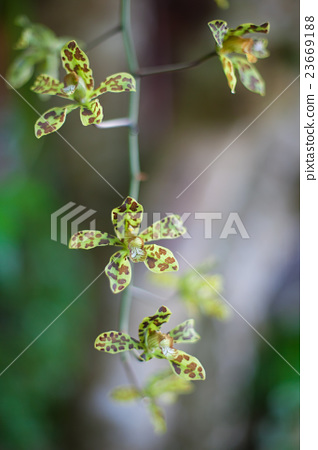 Photo Green Tropycal Orchid on the Blurred 23669188