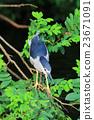the Black crowned Night Heron 23671091