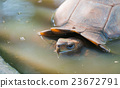 freshwater turtle in water 23672791