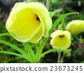 아침 꽃 오크라 23673245