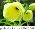 아침 꽃 오크라 23673246