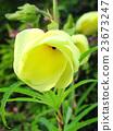 아침 꽃 오크라 23673247