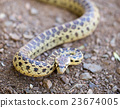 Pacific Gopher Snake in defensive posture 23674005
