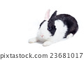 rabbit crouch laying down isolated on white 23681017