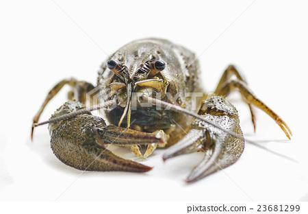 arthropods crustaceans cancer     23681299