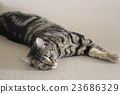 cat, pussy, american shorthair 23686329