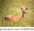 Deer Doe Standing in Tall Grass 23686506