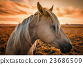 Horse Profile with Sunset 23686509