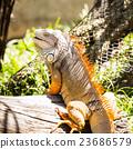 อิกัวนา,สัตว์เลื้อยคลาน,สีเขียว 23686579