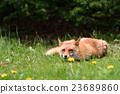 蝦夷紅狐狸 狐狸 動物 23689860