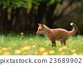 蝦夷紅狐狸 狐狸 犬科 23689902