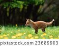蝦夷紅狐狸 狐狸 犬科 23689903