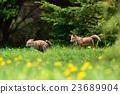 蝦夷紅狐狸 狐狸 犬科 23689904