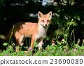 Kita狐狸的孩子们 23690089