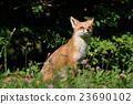 Kita狐狸的孩子们 23690102