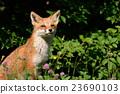 Kita狐狸的孩子们 23690103