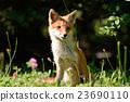 Kita狐狸的孩子们 23690110