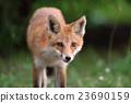 Kita狐狸的孩子们 23690159