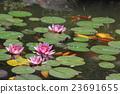 莲花 池塘 咸水湖 23691655