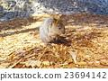 动物 哺乳动物 老鼠 23694142