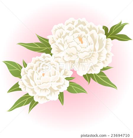 white peony flower illustration vector 23694710