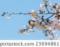 blossom, branch, cherry 23694861
