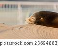Sea lion sleeping and sunbathe on large stone 23694883
