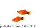 tropical fish, fish, fishes 23698916