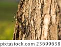 鍬形蟲 鋤頭形頭盔 深山鍬形甲蟲 23699638