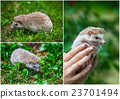 Set. Young hedgehog in the green grass 23701494