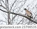 나뭇 가지에 그치는 젊은 독수리 23706535