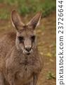 袋鼠 東部灰袋鼠 哺乳動物 23726644