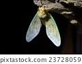 棕色大蟬 蟬 蝗蟲 23728059