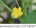 黃瓜花(生態形象) 23728587