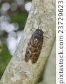 유지매미, 매미, 곤충 23729623