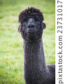 funny face of black fur alpacas ,llama 23731017