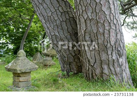 南欧黑松 树干 茎 23731138