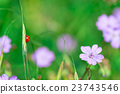 Ladybird in the nature of flowers in spring 23743546